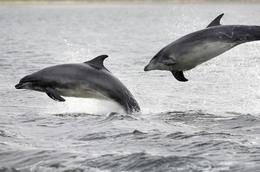 bottlenose-dolphin-scotland