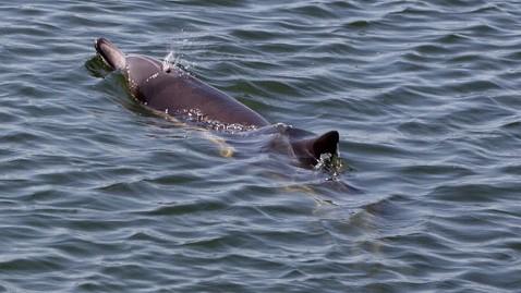 dolphin_bullied_huntington_beach
